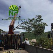 0935.351.677 - Cung cap Cay tra lam vo (4)