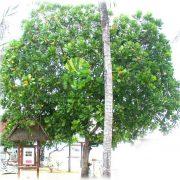 0935351677-Cay Bang Vuong (24)