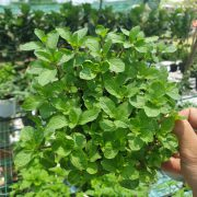 Peppermint (3)