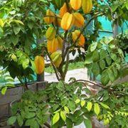 Cay khe 0935351677 (4)